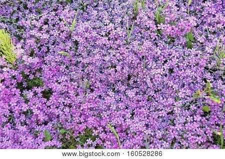 Forget-me-not (myosotis) Flower