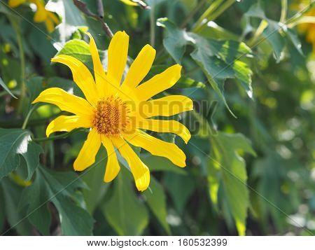Close up Tree marigold Mexican sunflower Nitobe chrysanthemum (Tithonia diversifolia).