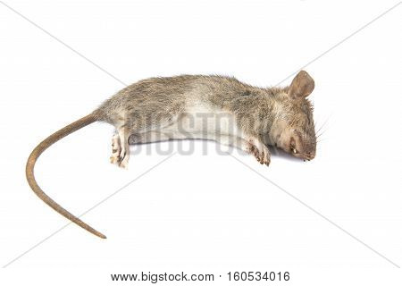 Dead rat (Mouse) on white background .