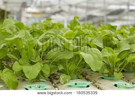 green hydroponic vegetable in farm.agriculture, natural, phonic,