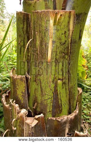 Banana Tree Bark