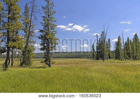 Meadow and Pines in the Wilderness in Yellowstone National Park in Wyoming