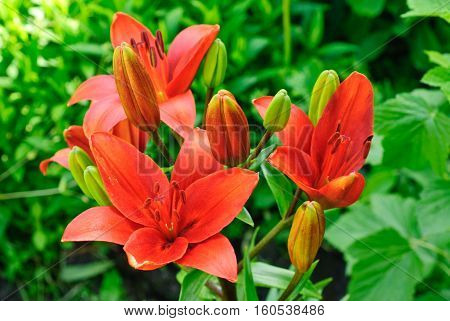 beautiful red lily macro in summer day