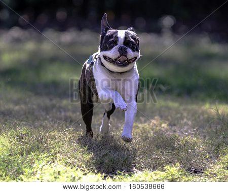 Greying Boston Terrier runs playfully toward the camera