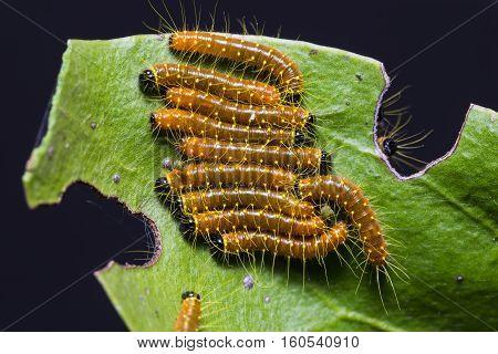 Painted Jezebel Caterpillars