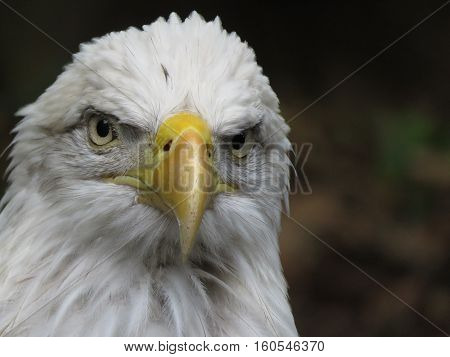 Portrait of the North American Bald Eagle