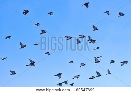 Pigeons flock flying on a bight sunny day with blue sky