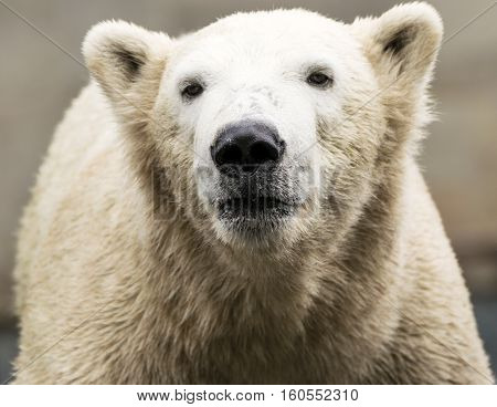 Polar bear. Ursus maritimus. Wild arctic animal
