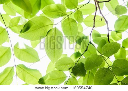 fresh and green leaves, Background of beautiful nature