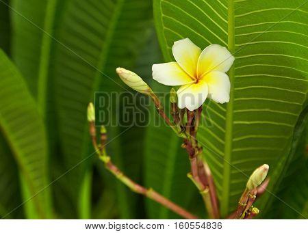 White and yellow Plumeria spp. (frangipani flowers Frangipani Pagoda tree or Temple tree)