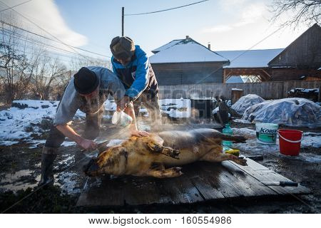 Sieu Romania - November 19 2016: Men wash a pig after slaughtering it as a Romanian tradition before Christmas.