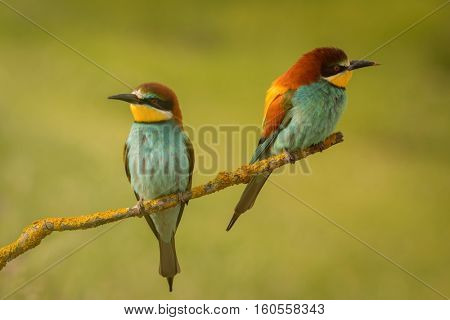 Pair of bee-eaters perched on a branch looking at different sides