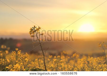 Sunrise Golden Canola