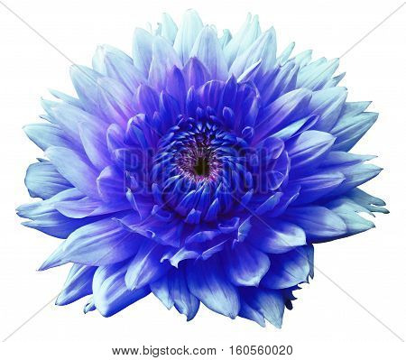 Flower blue-turquoise motley dahlia. Isolated on a white background. Close-up. without shadows. For design.