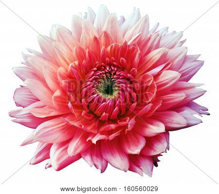 Flower pink-red motley dahlia. Isolated on a white background. Close-up. without shadows. For design.