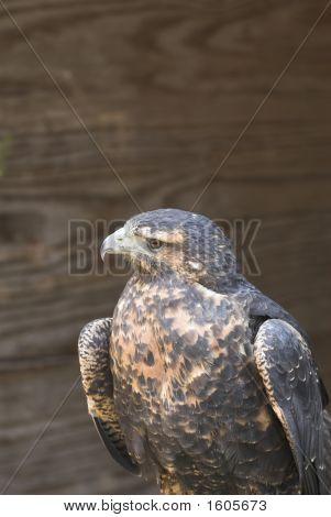Chilean  Eagle
