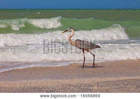 Great Blue Heron In Sanibel Island, Florida