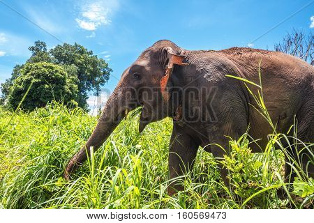 Young asian elephant in the jungle under blue skies