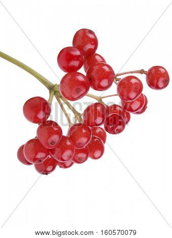 Branch of red viburnum berries on a white background