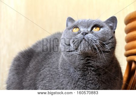 Portrait of British Short hair blue cat with yellow eyes staring upward. Friendly attentive pleading look.