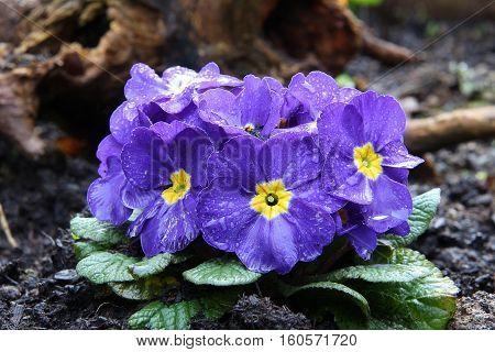 Primula - beautiful spring flowers, garden decoration.
