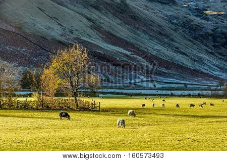 Sheep grazing in field in English Lake District near Langdale, UK.