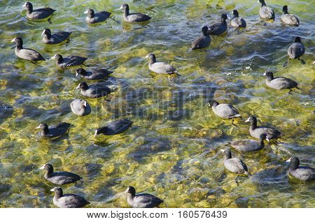 Eurasian coot. Istanbul Turkey. Eurasian coot and seagulls seen in Kucukcekmece Lake. Turkish is called Sakarmeke. The Eurasian coot (Fulica atra) also known as coot is a member of the rail and crake bird family the Rallidae. The scientific name is from L