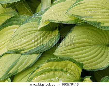 Green hostas with raindrops in late spring.