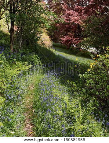 Bluebells and pathway at Gregynog near Newtown Powys Wales UK.