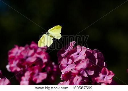 a flying brimstone butterfly landing on a pink flower