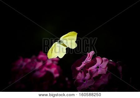 a small yellow brimstone butterfly flying around