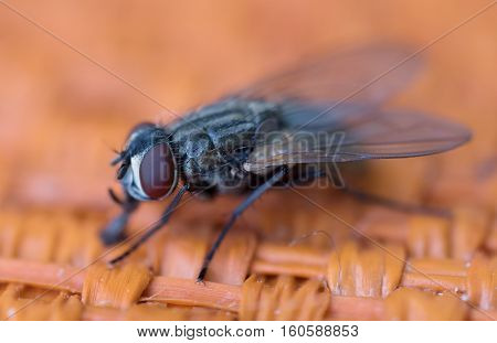 A close up of a insect fly