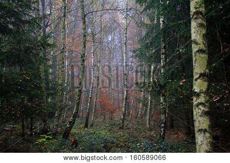 Birch Grove / Autumn in the birch forest