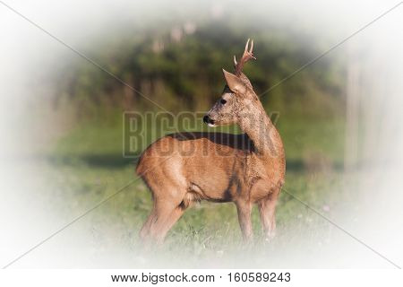 a beautiful roebuck standing in the meadows