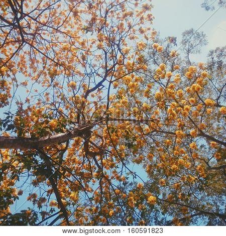 arbol araguaney con sus hermosas flores amarillas