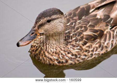 Duck Cu
