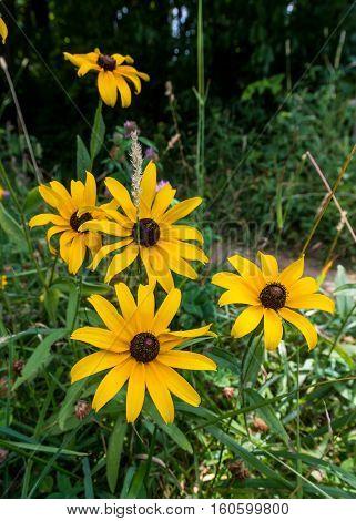 Black Eye Susan Wild Flowers Along Trail Vertical
