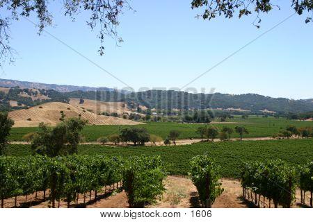napa valley landscape, wine, vineyard, healthy growing, farm, rows poster