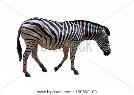 Zebra pregnant isolated on a white background. The wild horse of Africa. Each Zebra has a unique pattern of black and white stripes, like fingerprints in humans.