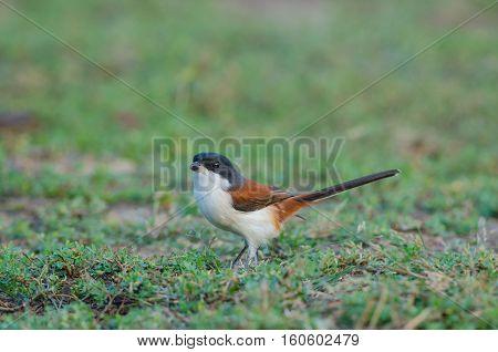 Burmese Shrike On Ground