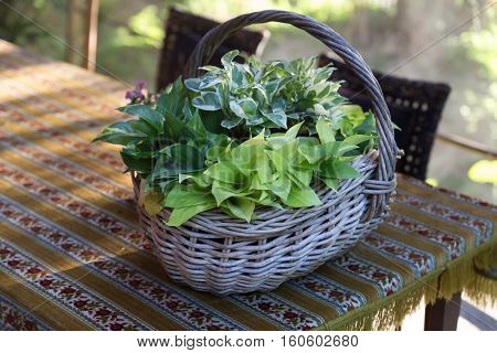 Devil's Ivy Hunter's Robe plant in basket on table on patio in garden