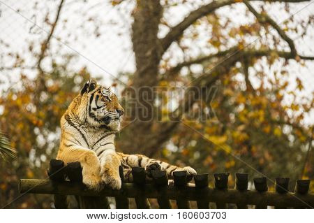 Bengal tiger in captivity at the zoo