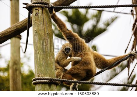 Lar Gibbon or a white handed gibbon (Hylobates lar) plays on a rope in a zoo.