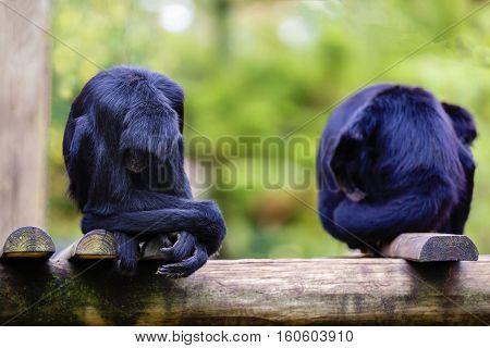 expressive monkey in captivity at the zoo