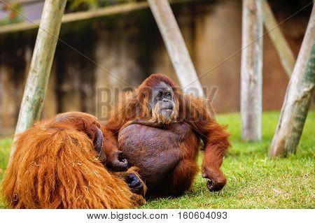 A Orangutan in zoo, Lisboa park .