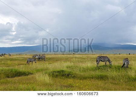 Herds of zebra and blue wildebeest grazing in the savannah on a background rains at Ngorongoro Crater Conservation Area, Tanzania. East Africa