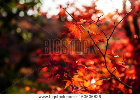 Red maple leaf against sunset with bokeh background in Eikando temple Kyoto Japan