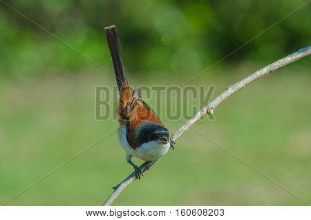 Burmese Shrike Perching On A Branch