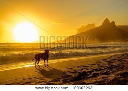 Dalmatian dog looking in front and standing at edge of Atlantic Ocean on the background of beautiful golden sunset, Dois Irmaos Mountain and Pedra da Gavea at Ipanema beach, Rio de Janeiro, Brazil