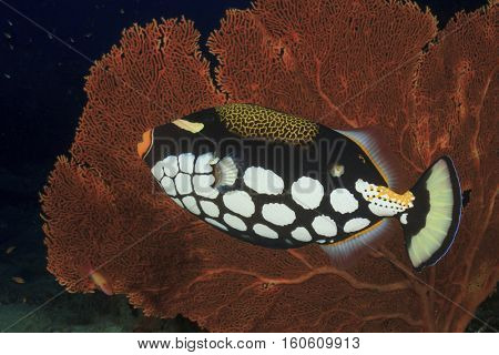 Clown Triggerfish fish and fan coral